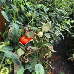 Grainger County Tomato Plant